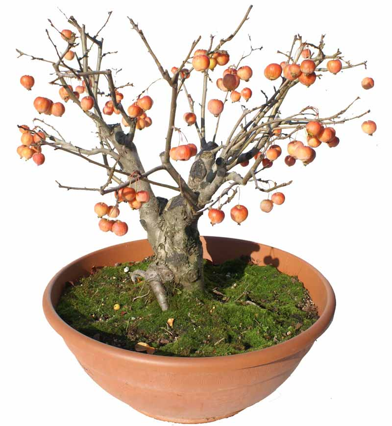 Envio de bonsai bons i a domicilio enviar bons i a for Bonsais de interior